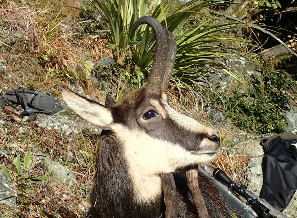 Game Animals to Hunt in New Zealand | Poronui Hunting Lodge